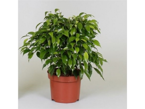 Фикус Бенджамина Грин Кинки Ficus Be Green Kinky