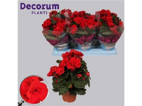 Бегония Баладин Ред Begonia Baladin Red (decorum)