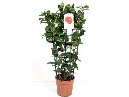 Камелия японская на решётке Camellia Japonica On Reck