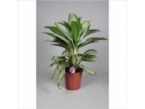 Аглаонема Клеопатра Aglaonema Cleopatra (decorum)