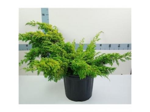 """Можжевельник """"Аурея"""" Juniperus Chin. Aurea"""
