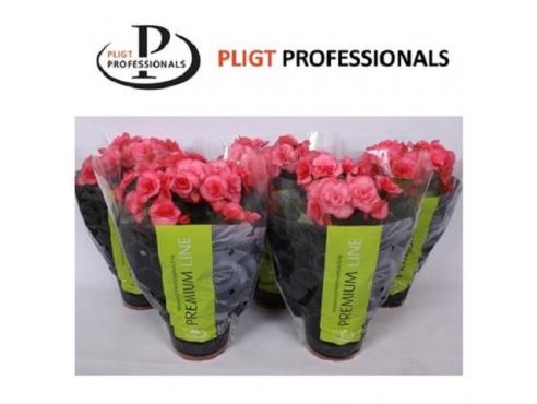 Бегония Электра Пинк Премиум Begonia Premium Elektra Pink