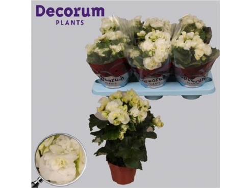 Бегония Бодиния Уайт Begonia Bodinia White (decorum)