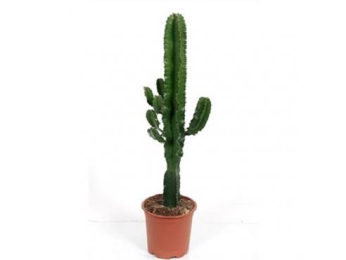 """Кактус """"Эуфобия Эритрея"""" Cactus Euphorbia Eritrea Branched"""