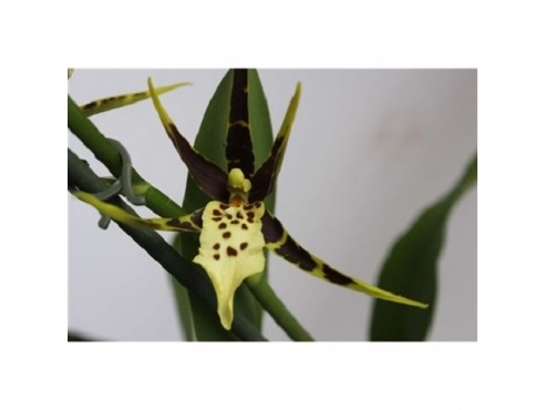 Брассия Шелоб Толкиен Йеллоу Brassia 1st Shelob Tolkien Yellow