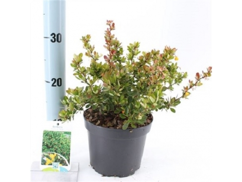 "Барбарис самшитолистный ""Нана"" Berberis Buxifolia Nana"