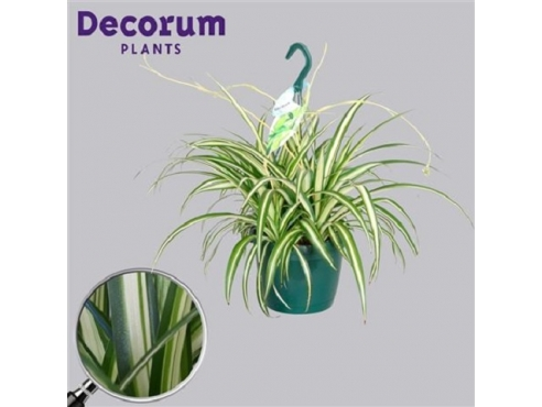 "Хлорофитум ""Вариегата"" Chlorophytum Variegated (decorum)"