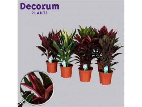 Кордилина микс набор из 5-ти растений Cordyline Mix (decorum)