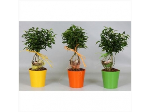 Фикус Бенджамина Нест Ficus Be Nest