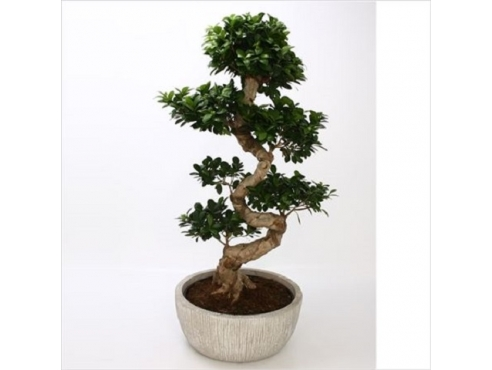 Фикус Гинсенг Ficus Mi Ginseng S-shape In Fuji Pot