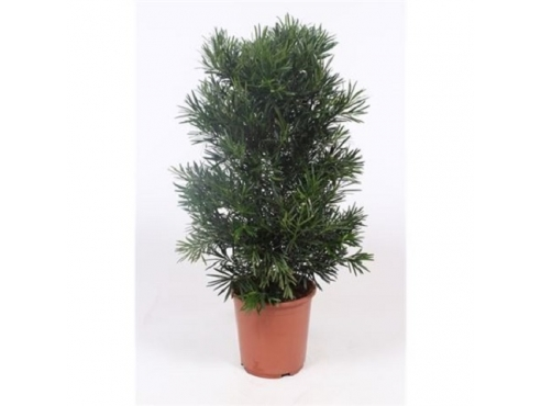 "Бонсаи ""Подокарпус"" Bonasi Podocarpus Macrophylla (fachjan)"