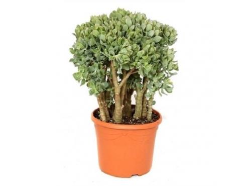 """Крассула древовидная """"Кристата"""" Crassula Arborescens Cristaat"""