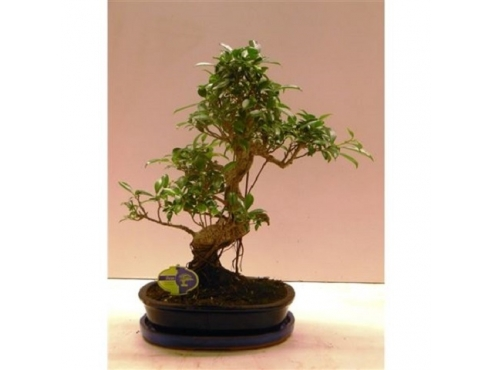 "Бонсаи фикус ""Ретуса"" Bonsai Ficus Retusa With Driptray"