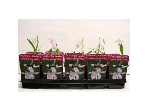 """Садовая орхидея """"Блетиллаа Альба"""" Garden Orchids Pleinone Bletilla Alba"""