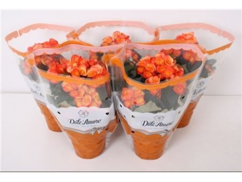Бегония Долкаморе Оранж Йеллоу Begonia Dolc'amore Orange/yellow