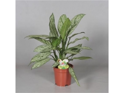 Аглаонема Сильвер Квин Aglaonema Silver Queen (decorum)