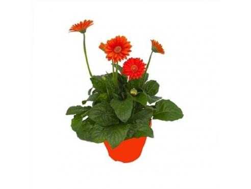 """Садовая гербера """"Гарвинея Оранж"""" Gerbera Garvinea Tst Orange"""