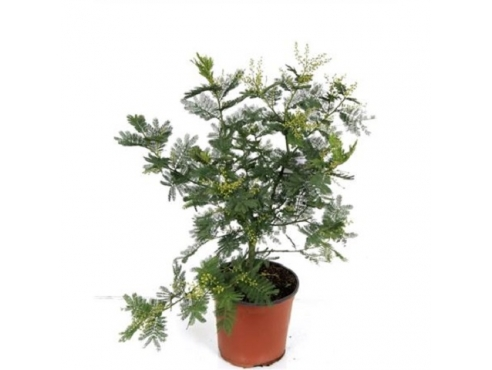 "Акация серебристая ""Мимоза"" Acacia Mimosa Dealbata Bush"