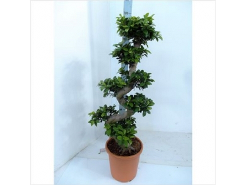 Фикус Гинсенг Ficus Ginseng Branched