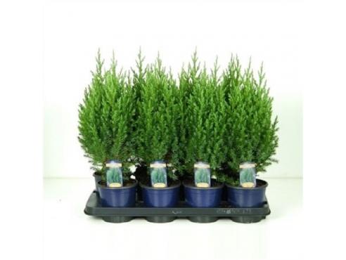 """Можжевельник китайский """"Стрикта"""" Juniperus Chinensis Stricta"""