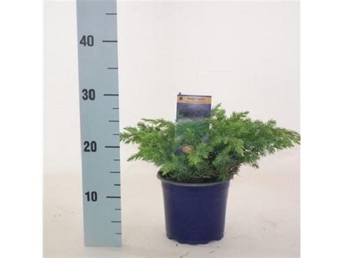 """Можжевельник прибрежный """"Шлягер"""" Juniperus Conferta Schlager"""