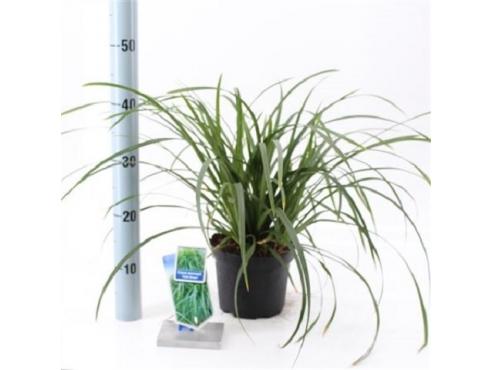 """Карекс Моррова """"Айриш Грин"""" Carex Morrowii Irish Green"""