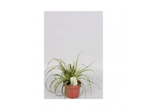 Карекс Эверест Carex Oshimensis Everest