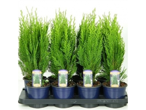 "Кипарисовик Лавсона ""Грин Пиллар"" Chamaecyparis Lawsoniana Green Pillar"