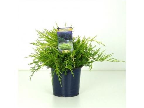 """Можжевельник Пфитцера """"Голд Стар"""" Juniperus Pfitzeriana Gold Star"""