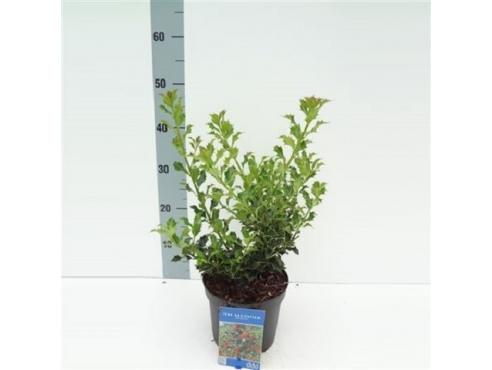 """Падуб остролистный """"Аляска"""" Ilex Aquifolium Alaska"""