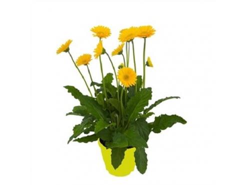 """Садовая гербера """"Гарвинея Йеллоу"""" Gerbera Garvinea Tst Yellow"""