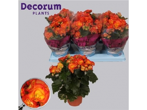 Бегония Бодиния Рио Йеллоу Оранж Begonia Bodinia Rio Yellow/orange