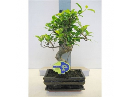 "Бонсаи фикус ""Ретуса Шейп Спешиал"" Bonsai Ficus Retusa Shape( Special)"