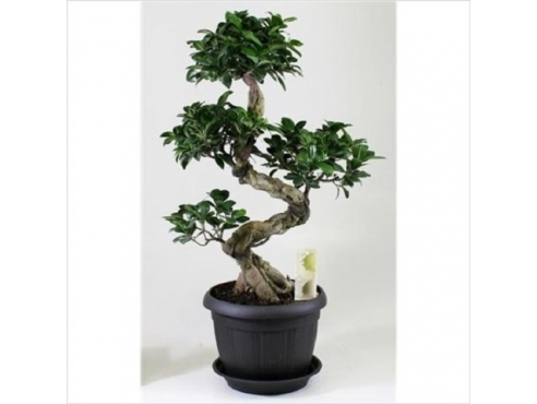Фикус Шейп Ficus S-shape In Deco Pot
