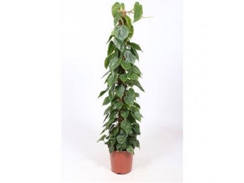 Филодендрон лазящий Philodendron Scandens (fachjan)
