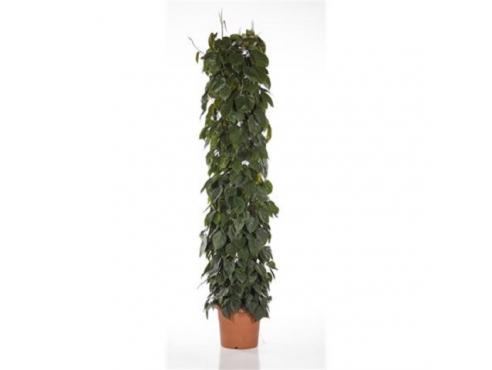 Филодендрон лазящий Philodendron Scandens