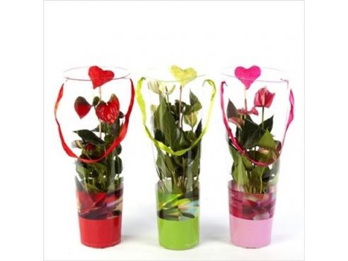Антуриум к Дню Святого Валентина 5+Anth An Mix In Luxe Valentine Tube 5+