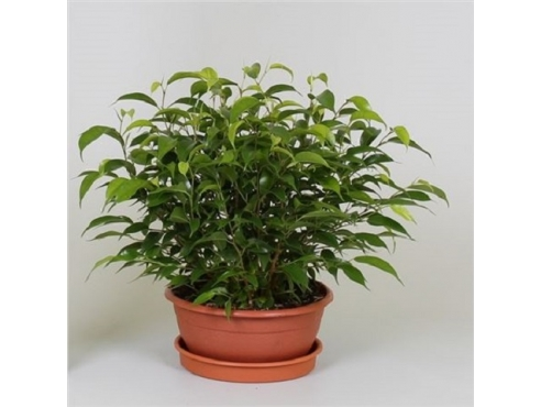 Фикус Бенджамина Наташа Ficus Be Natasja In Bowl