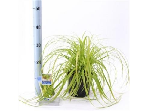 """Карекс """"Эверилло"""" Carex Oshimensis Everillo"""
