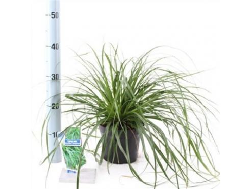"""Карекс """"Эвергрин"""" Carex Oshimensis Evergreen"""