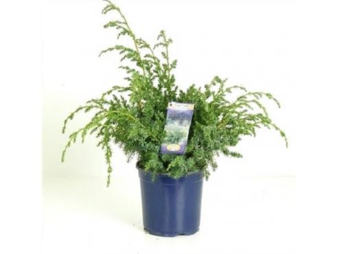 "Можжевельник китайский ""Блю Альпс"" Juniperus Chinensis Blue Alps"