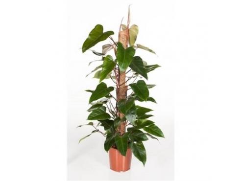 """Филодендрон """"Ред Эмеральд"""" Philodendron Red Emerald Mosspole"""