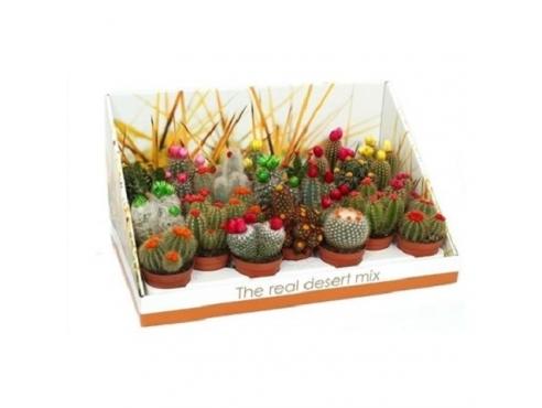 """Кактус """"Стро Диско"""" Cactus Mix Stro Disco Real Desert Showbox"""
