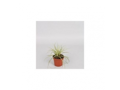 Карекс Эверголд Carex Hachijoensis Evergold
