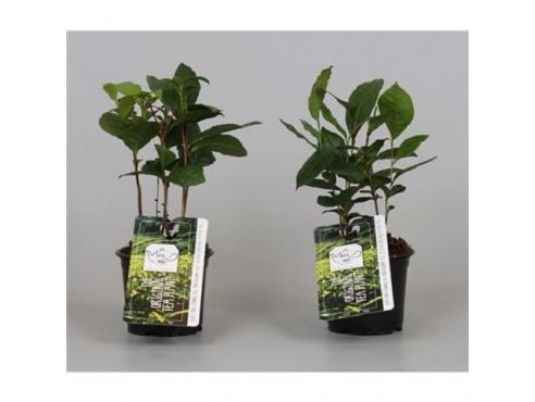 Камелия китайская Camellia Sinensis