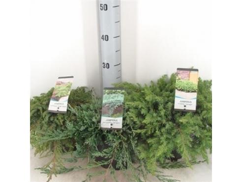 Можжевельник почвопокровный микс  Juniperus Mix Ground Cover