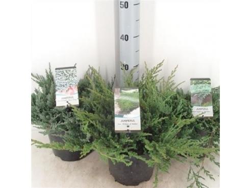 Можжевельник горизонтальный микс Juniperus Mix Horizontalis