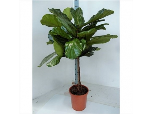 Фикус Лирата Ficus Lyrata On Stem