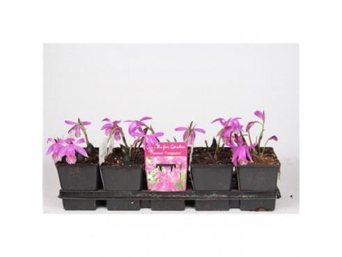"""Садовая орхидея """"Плейоне Тонгариро"""" Garden Orchids Pleione Tongariro"""