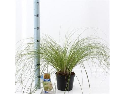 Карекс кирпичный Carex Oshimensis Testacea